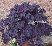 kale rouge de la ferme